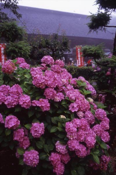 蓮華峰寺のあじさい,あじさい,見頃,新潟県