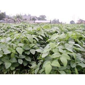 種 28 年産 だだちゃ豆 完全無農薬 無化学肥料 50 g,プランター,野菜,