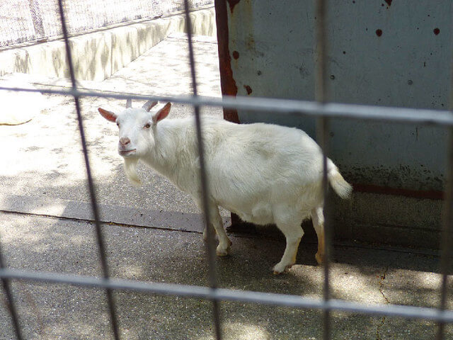 小動物園のヤギ,大池公園,東海市,