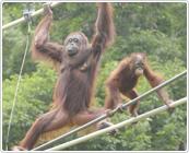 多摩動物公園で見られるオランウータンの枝渡り,東京,多摩動物公園,子連れ