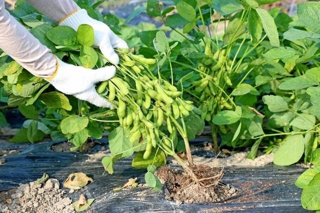 収穫された枝豆,離乳食,枝豆,