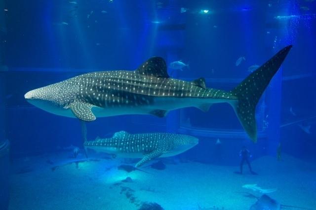 優雅に泳ぐジンベエザメ,大阪,水族館,海遊館