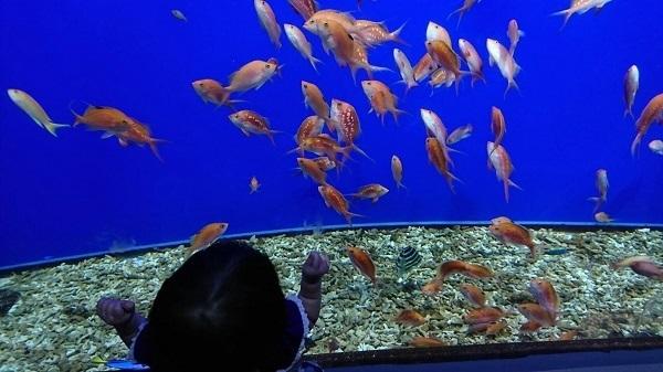赤い魚を見る赤ちゃん,大阪,水族館,海遊館