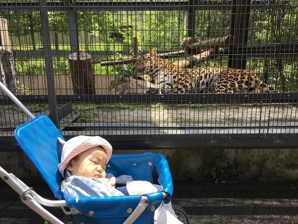 眠っている赤ちゃん,旭山動物園,お土産,北海道