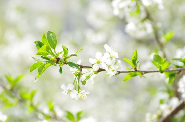 春の桜,4月,出産,