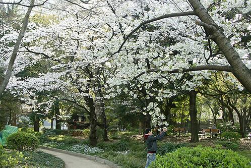 日比谷公園の桜,東京,桜,名所