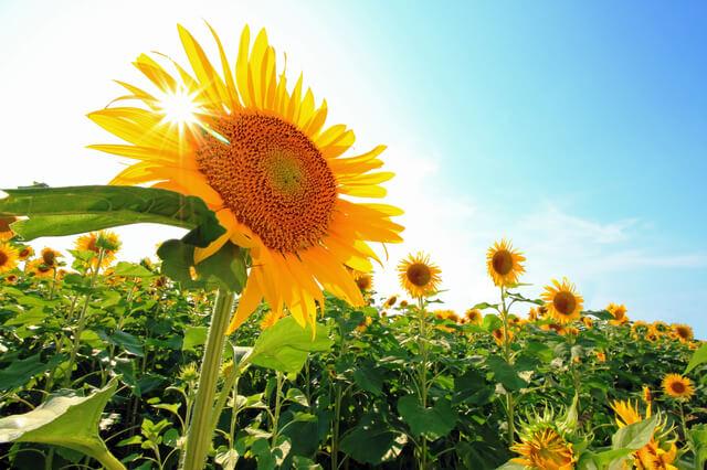 ひまわり太陽,UVカット,帽子,