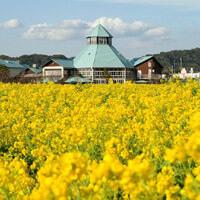 道の駅とみうら 枇杷倶楽部の菜の花畑,千葉,菜の花,名所