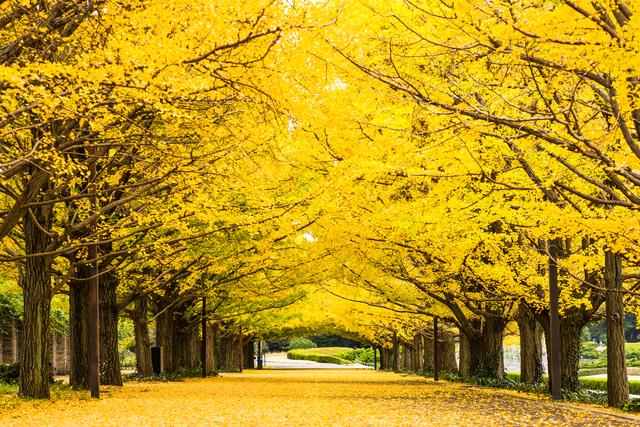 昭和記念公園 銀杏並木,国営昭和記念公園,