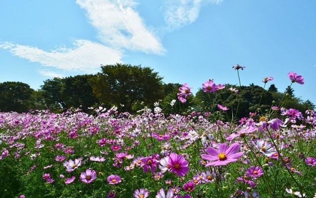 コスモス,国営昭和記念公園,