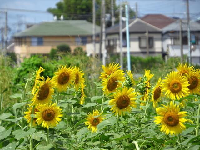 埼玉のひまわり畑,関東,ひまわり,名所