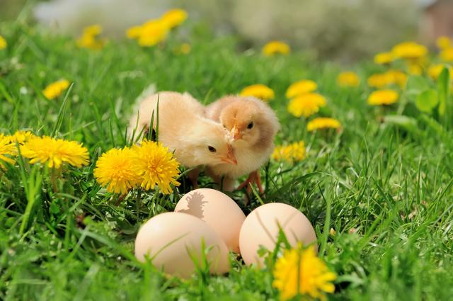 卵とひよこ,たまごっち,おもちゃ,