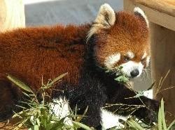 大崎公園 子供動物園のレッサーパンダ,