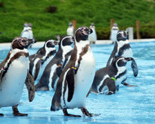 埼玉県こども動物自然公園のフンボルトペンギン,