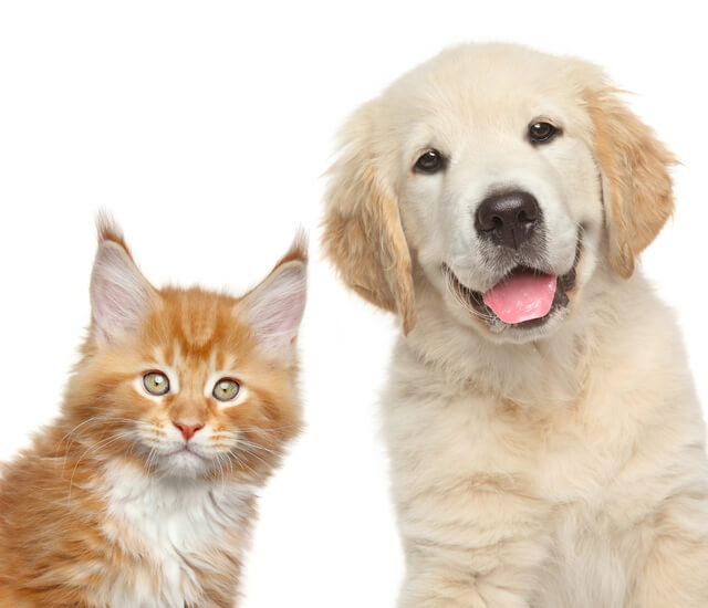 ゴールデンレトリバーと猫,