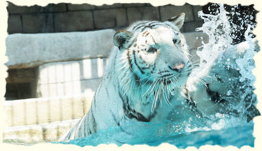 東武動物公園のホワイトタイガー,埼玉,子供,動物公園