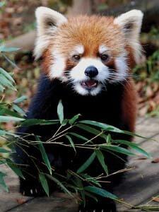 千葉市動物公園のレッサーパンダ,千葉県,動物園,動物と触れ合える