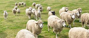マザー牧場 羊の群れ,千葉県,動物園,動物と触れ合える
