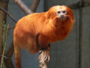 ゴールデンライオンタマリン,静岡県,動物園,かわいい