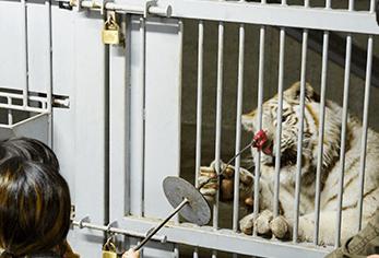 ホワイトタイガーにエサやり,静岡県,動物園,かわいい