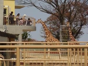 かみね動物園キリンのエサやり,茨城,動物園,おすすめ