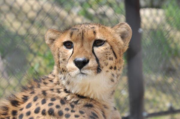 安佐動物園チーター,広島県,動物園,おすすめ