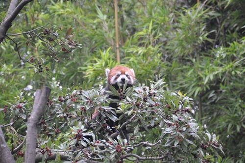 レッサーパンダ,江戸川区自然動物園,無料,触れ合い体験