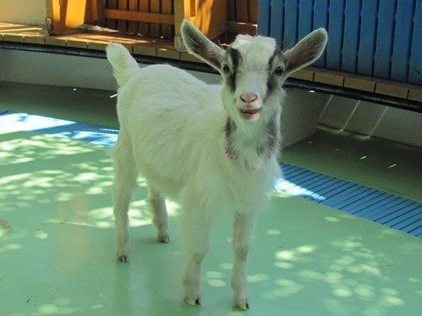 子やぎのミルキー,江戸川区自然動物園,無料,触れ合い体験