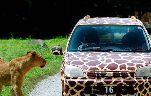 那須サファリパークレンタカーとライオン,那須,レジャー,動物園