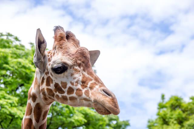 野毛山動物園のキリン,横浜,野毛山動物園,