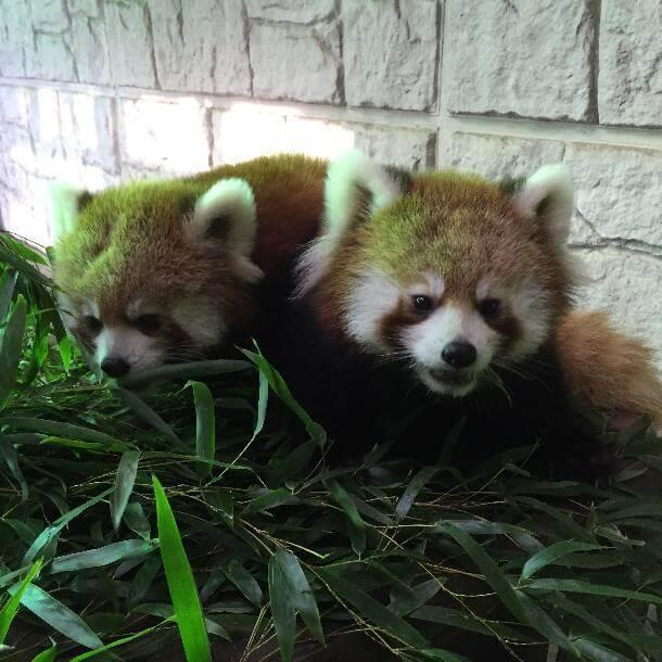 夢見ケ崎動物公園のレッサーパンダ,夢見ケ崎動物公園,人気,レッサーパンダ