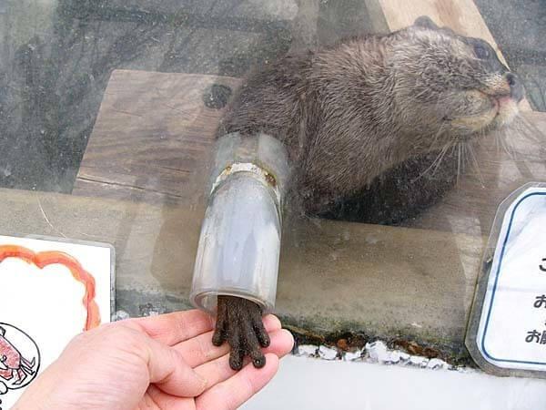 カワウソと握手,市川市動植物園,カワウソ,