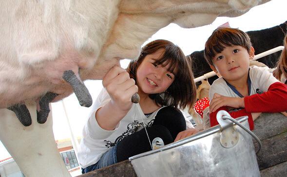 マザー牧場の乳牛の手しぼり体験,マザー牧場,千葉,