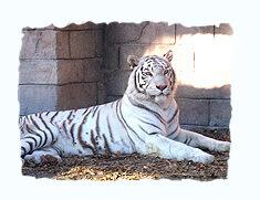 ホワイトタイガー,東武動物公園,遊園地,