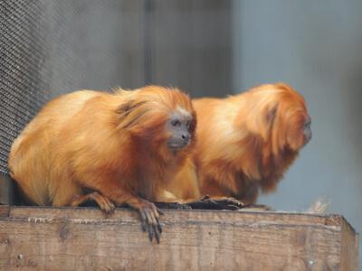 ゴールデンライオンタマリン,静岡,動物園,