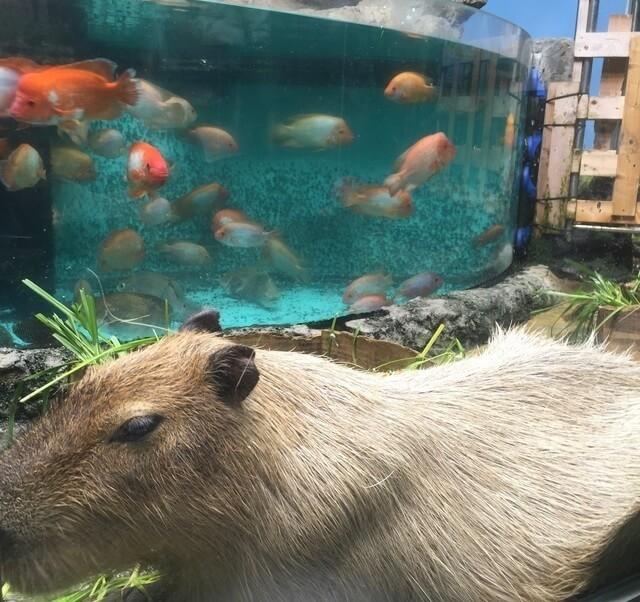 カピバラと魚,三重,鳥羽水族館,