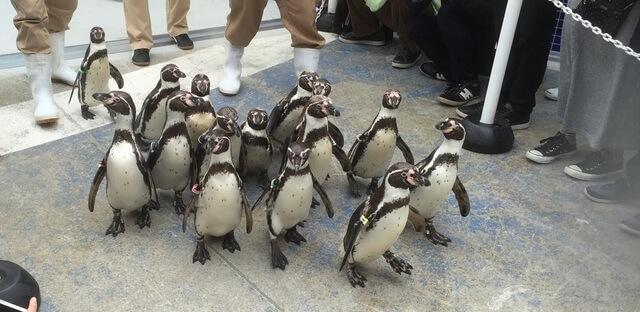 ペンギン散歩,三重,鳥羽水族館,