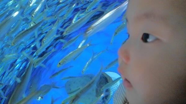 魚を見つめる赤ちゃん,水族館,大洗,