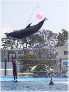 イルカ,越前松島水族館,