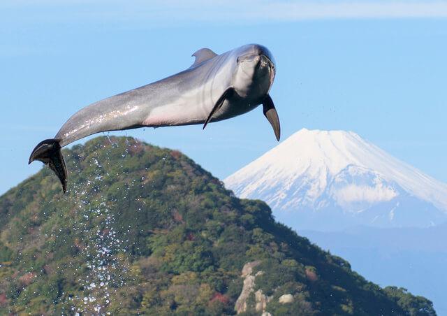 富士山といるか,あわしまマリンパーク,割引,