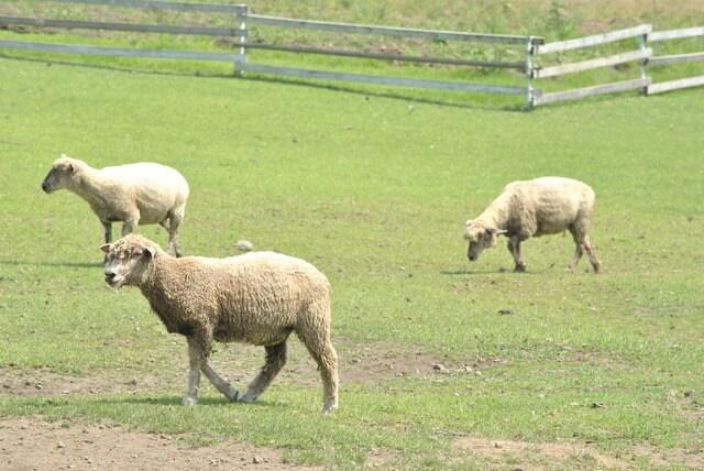 赤城クローネンベルクの羊,赤城クローネンベルク,ドイツ村,体験