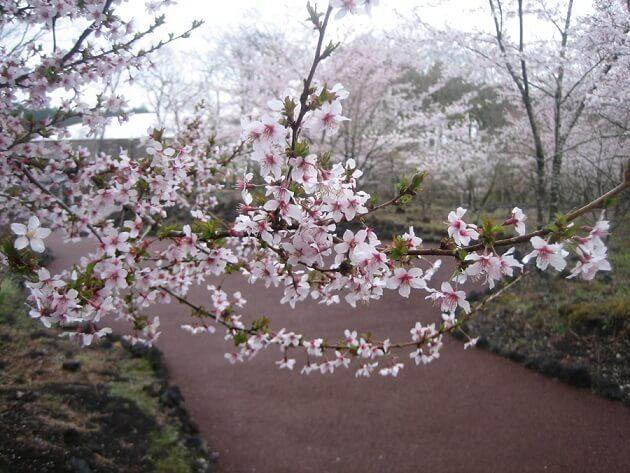 さくらの散歩道,富士山樹空の森,