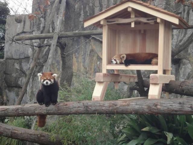 野毛山動物園のレッサーパンダ,関東,動物園,