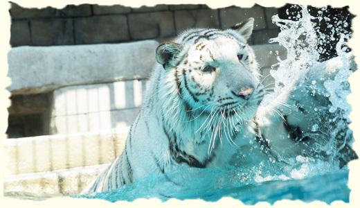 東武動物公園のホワイトタイガー,関東,動物園,