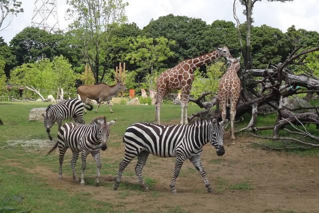よこはま動物園ズーラシア アフリカのサバンナ,横浜,ズーラシア,サバンナ