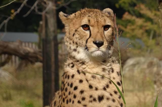 よこはま動物園ズーラシア アフリカのサバンナ チーター,横浜,ズーラシア,サバンナ