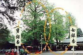 夫婦銀杏,戌の日, 安産祈願,東京