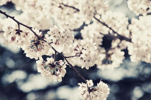 桜,ベビーパジャマ,
