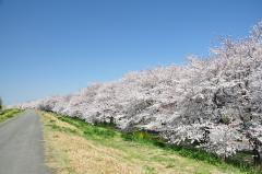 熊谷桜堤,埼玉,花見,名所