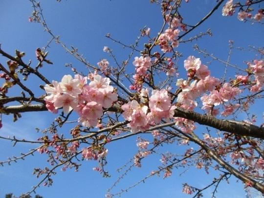 葛西臨海公園の桜,都内,花見,公園